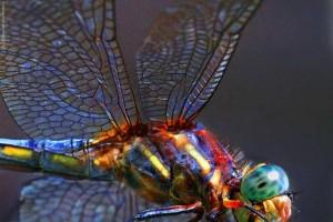 De Libelle - meester van de illusie's - in het engels the Dragon Fly